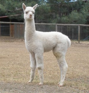 2012  male cria, White Knight