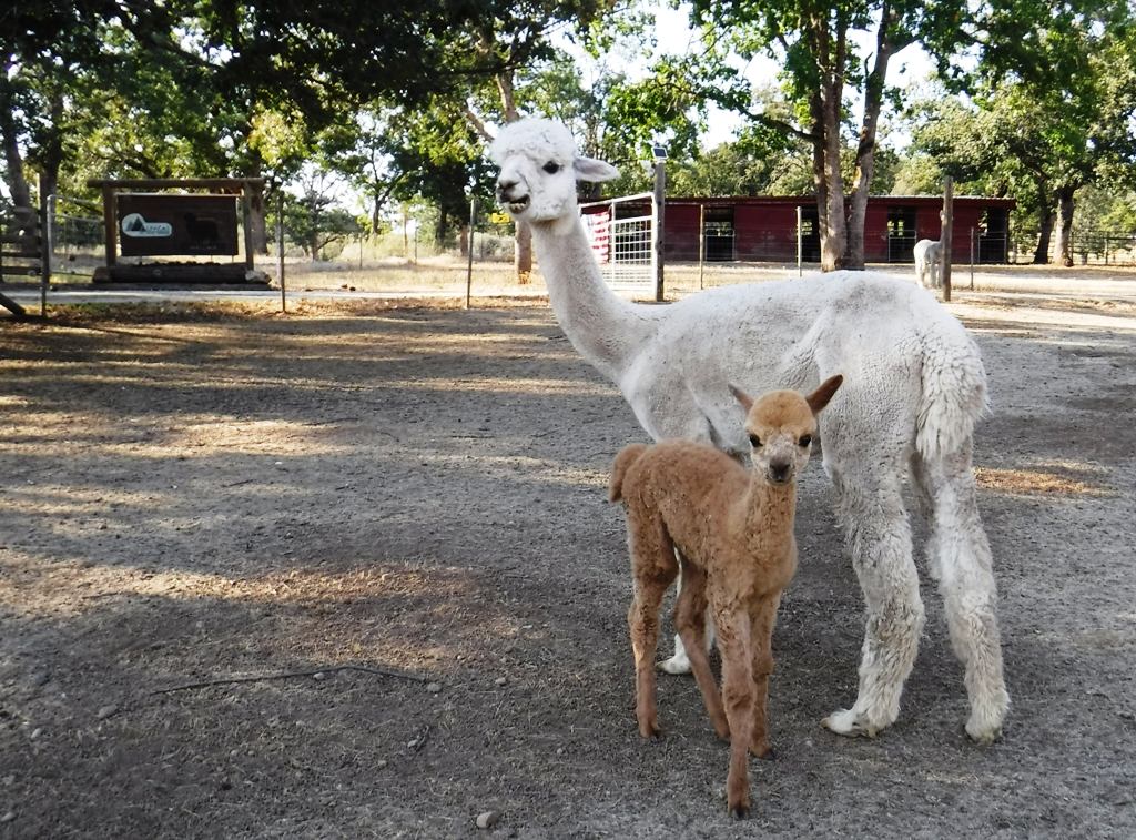 Grace and her first cria, Gina