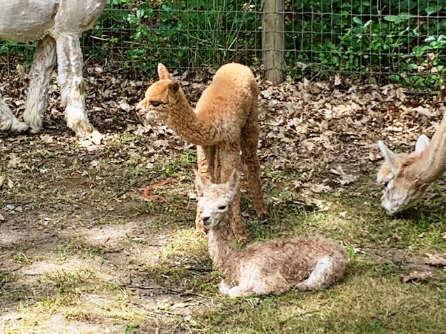 darker female cria standing sired by Hennessy